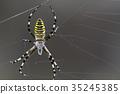 橫紋金蛛 蜘蛛 蟲子 35245385