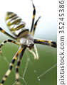 橫紋金蛛 蜘蛛 蟲子 35245386