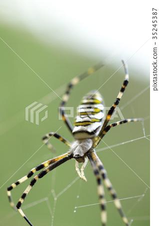 橫紋金蛛 蜘蛛 蟲子 35245387