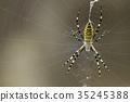橫紋金蛛 蜘蛛 蟲子 35245388
