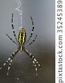 橫紋金蛛 蜘蛛 蟲子 35245389