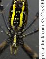 橫紋金蛛 蜘蛛 蟲子 35245390