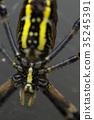 橫紋金蛛 蜘蛛 蟲子 35245391
