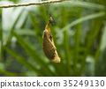 butterfly pupa hanging on a thread 35249130