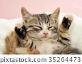 아기 고양이, 새끼 고양이, 동물 35264473