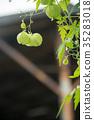 酸漿多年生植物觀賞地燈大豆自然真實植物季節obon hoonokushi城市特色季節藥草 35283018
