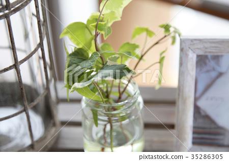 常春藤 植物 植物學 35286305
