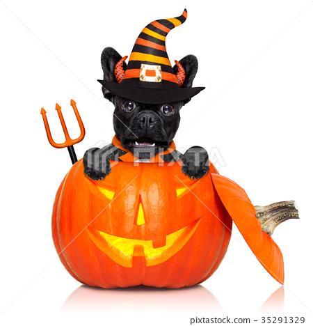 halloween pumpkin witch dog 35291329