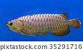Silver Arowana fish 35291716