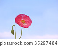 poppy, bloom, blossom 35297484