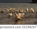 swan, swans, lake 35298267