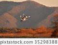 swan, swans, bird 35298388