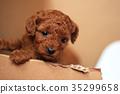 贵宾狗 35299658