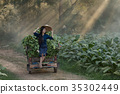 tobacco, farm, woman 35302449