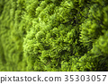 cypress, background, foliage 35303057