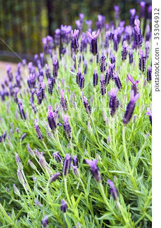 Purple Monet Dentate Lavender 35304912