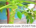 papaya, papayas, unripe 35307706
