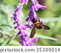 벌, 어리호박벌, 꽃 35309014