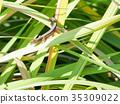 파충류, 풀, 도마뱀 35309022