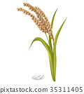 Paddy Ears with Rice Grain Pile on White Poster 35311405