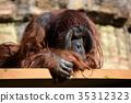 오랑우탄, 다마 동물공원, 타마 동물공원 35312323
