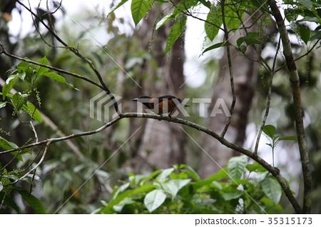 黑頭林鵙鶲 35315173