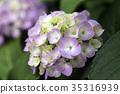 hydrangea, bloom, blossom 35316939