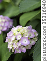hydrangea, bloom, blossom 35316940