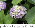 hydrangea, bloom, blossom 35316942