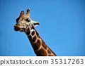 長頸鹿 網紋長頸鹿 動物 35317263