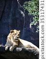 獅子 百獸之王 哺乳動物 35317431