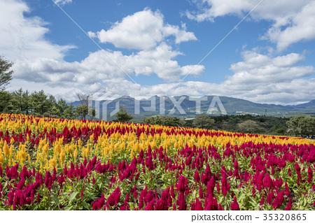 Keito flower field of Nasu Flower World 35320865
