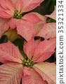 핑크 포인세티아 35321334