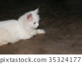 White Persian cat is looking right at something 35324177