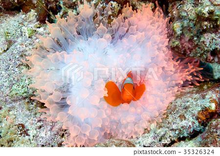 Spine Cheek Anemone Fish 35326324