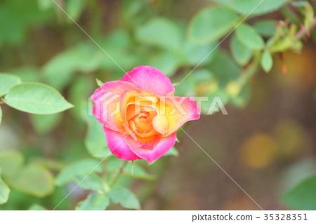 秋天玫瑰花 35328351