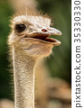Ostrich head close up 35330330