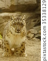 雪豹 豹 哺乳動物 35338129