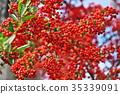 botanic, botanical, fruit 35339091