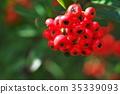 botanic, botanical, fruit 35339093