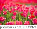 鬱金香 鬱金香花叢 花朵 35339924