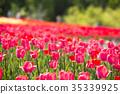 鬱金香 鬱金香花叢 花朵 35339925