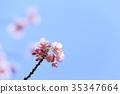 櫻花 櫻 賞櫻 35347664