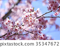 櫻花 櫻 賞櫻 35347672