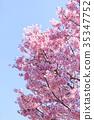 櫻花 櫻 賞櫻 35347752