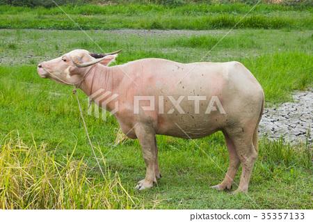 Albino buffalo in the rice field 35357133