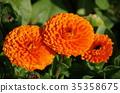 marigold, bloom, blossom 35358675
