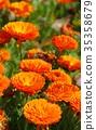 marigold, bloom, blossom 35358679