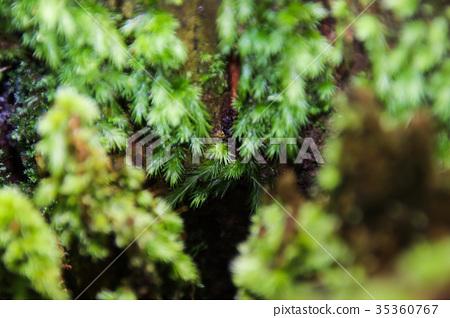 苔蘚青苔綠色苔蘚植物的微觀觀 35360767