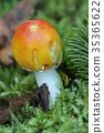 Small Amanita Muscaria 35365622